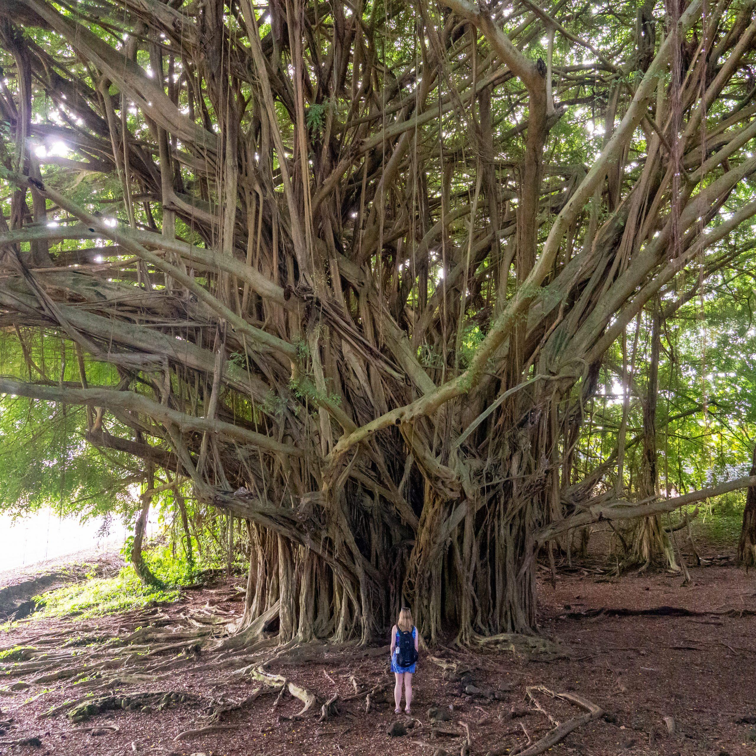 Gluten Free Hawaii Banyan at Rainbow Falls